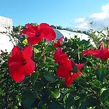 댄마크무궁화꽃 배란다월동|