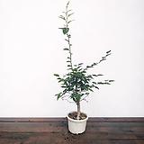 외목 소사나무|
