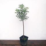 외목토피어리 자엽안개나무|