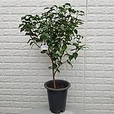♥삼색동백 나무55♥ 