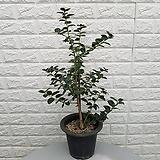♥둥근잎 호랑가시나무33 ♥동일품배송 