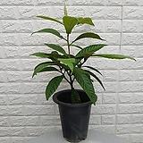 ♥비파나무15 약용식물♥ 