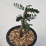 [메카다육]22번 세나 메리디오날리스(가지삽목)희귀아프리카식물