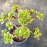 선동창|Aeonium spathulatum