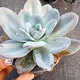 블링크스블루|Echeveria Brinks Blue