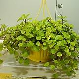 스웨이디쉬아이비 14번-꽃피는아이비-단풍이매혹적-광채나는잎-검색해보세요-동일품배송