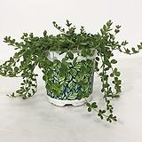 이사벨라 페페로미아 공기정화식물|