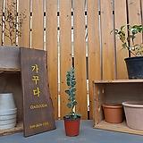 둥근잎아카시아|