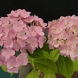 수국(핑크)|