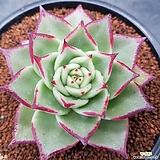 환엽) 연꽃마리아 최상급  뿌리무  0915-544|Echeveria agavoides Maria