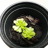 에셀리나~식충식물(2포트한묶음) 
