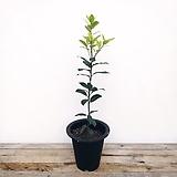 외목대 월계수나무|