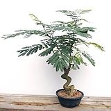 토종 자귀나무 딱하나|