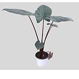 알로카시아 유카탄 프린세스 공기정화식물 실내화분|