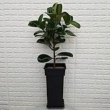 ♥고무나무 개업, 집들이 선물 ♥공기정화식물 