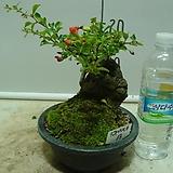 장수매석부13번-년 중 꽃보는 나무-황홀합니다.-동일품배송|