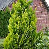 정원 조경 울타리 편백과 이본느 Ivonne 사이프러스 나무 묘목 포트 (2포트)|