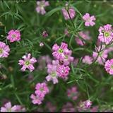 (1000립)안개초 핑크 씨앗 