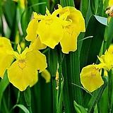(200립)노랑꽃창포 씨앗 
