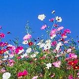 (10000립)코스모스 혼합 씨앗[중포장] Echeveria Mose