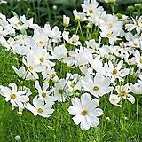 (200립)미니 코스모스 화이트 씨앗 Echeveria Mose