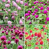 (500립)천일홍 4종혼합(핑크,로즈,레드,네온로즈) 씨앗 