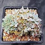 양로철화 0916-283|Echeveria peacockii subsessilis