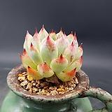 오래도록묵힌) 콜로라타  0916-285|Echeveria colorata