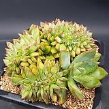 콜로라타철화  0916-307|Echeveria colorata