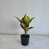 크로톤/공기정화식물/반려식물/온누리 꽃농원|