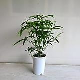 대나무홍콩/공기정화식물/반려식물/온누리 꽃농원|