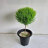 율마 외목대/공기정화식물/반려식물/온누리 꽃농원|