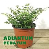 아디안텀 고사리 공작고사리 공기정화식물|