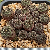 라우치|Sulcorebutia rauschii