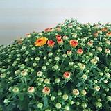 진노랑국화꽃 월동|