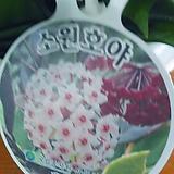 꽃피는호야  공기정화|