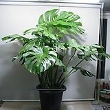 자이언트몬스테라 특특대품-공기정화최고인기식물-동일품배송|Echeveria Giant