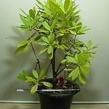 유럽만병초1 특대품-붉은꽃-내년봄꽃형성중-동일상품배송|