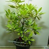 유럽만병초2 특대품-붉은꽃-내년봄꽃형성중-동일상품배송|