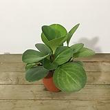 청페페 페페로미아 공기정화식물 식물인테리어|