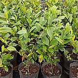 함소화나무(4년생 직경23cm비닐포트묘)2주 