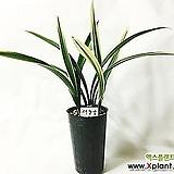 태양금(3-4촉)/난/동양란/서양란/공기정화식물/난/나라아트|