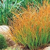 세종식물원 정원 조경 그라스 프래리파이어 Prairie Fire 화분 