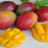 [예약판매]자가수정 애플망고트리 킹레드(아이윈) 화분상품♥왜성 망고나무 외목수형♥화분재배 최적화|