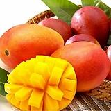 [예약판매]자가수정 애플망고트리 퀸레드(귀비) 화분상품♥왜성 망고나무 외목수형♥화분재배 최적화|