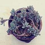 4블루빈스ㆍ화분포함|Graptopetalum pachyphyllum Bluebean