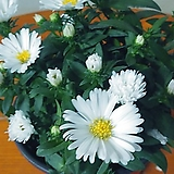 아스타국화꽃3묵음 월동|