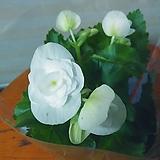 장미배고니아꽃 3묵음 랜덤|
