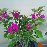 부겐배리아꽃 공기정화|