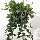 아시난 오렌지볼 코도난테 그락실 아시난데스 행잉플랜트 에어플랜트 공중식물|